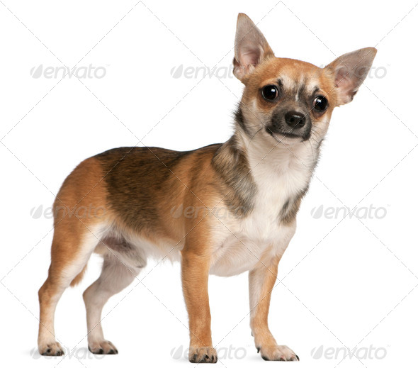 Chihuahua, 10 months old, standing in front of white background - Stock Photo - Images