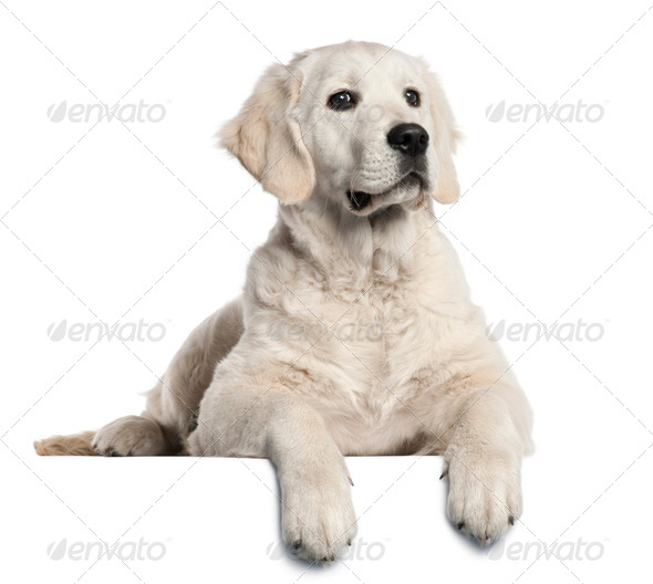 Golden Retriever puppy, 5 months old, lying in front of white background - Stock Photo - Images