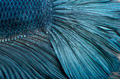 Close-up of Blue Siamese fighting fish, Betta Splendens