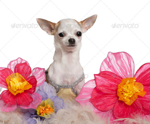 Chihuahua, 1 year old, sitting among flowers in front of white background - Stock Photo - Images