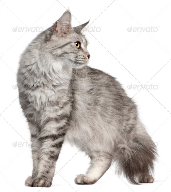 Maine Coon, 2 years old, in front of white background - Stock Photo - Images