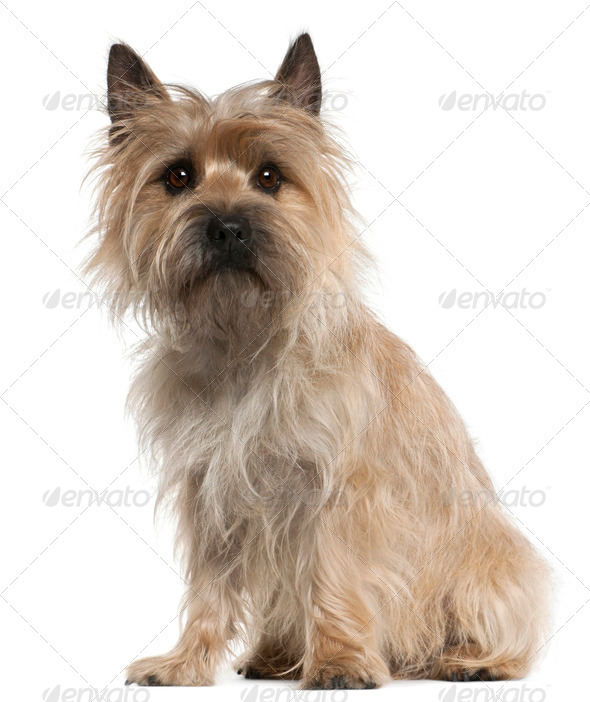 Cairn Terrier, 18 months old, sitting in front of white background - Stock Photo - Images
