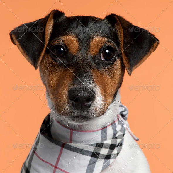 Jack Russell Terrier puppy (4 months old) - Stock Photo - Images