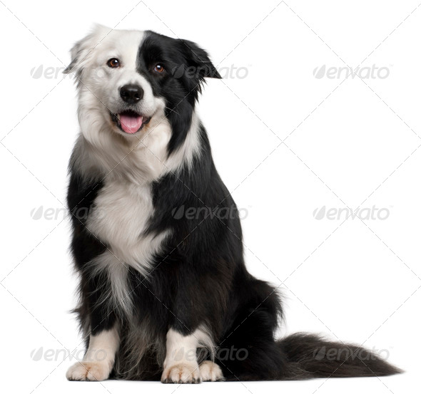 Border Collie, 8 and a half years old, sitting in front of white background - Stock Photo - Images