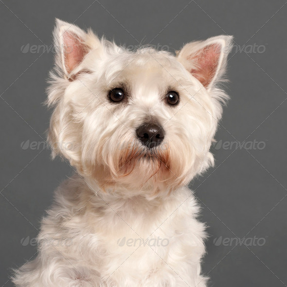West Highland White Terrier - Stock Photo - Images