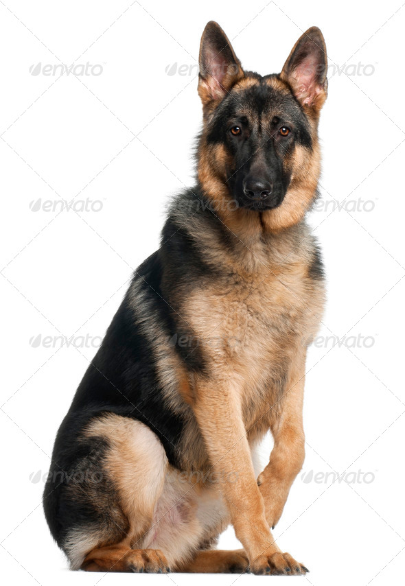 German Shepherd Dog, 8 months old, sitting in front of white background - Stock Photo - Images