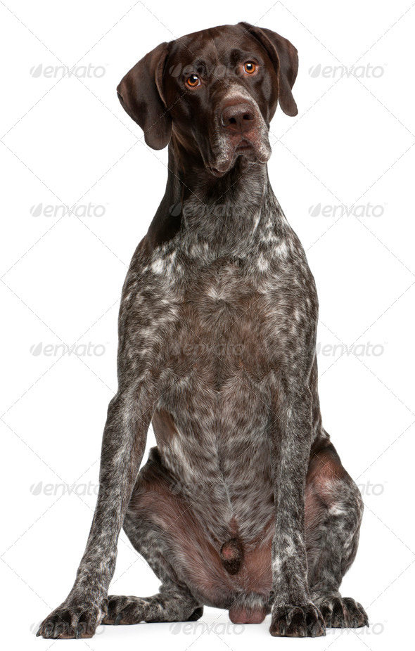 German Shorthaired Pointer, 3 years old, sitting in front of white background - Stock Photo - Images