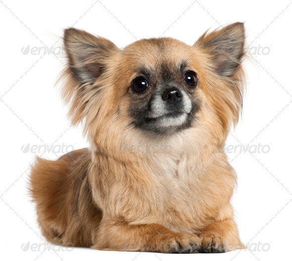 Chihuahua, 3 years old, lying in front of white background - Stock Photo - Images