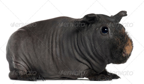 Guinea pig, 3 years old, in front of white background - Stock Photo - Images