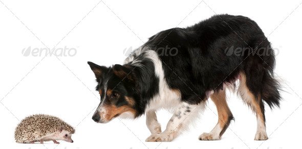 Female Border Collie, 3 years old, playing with hedgehog, 6 months old, in front of white background - Stock Photo - Images