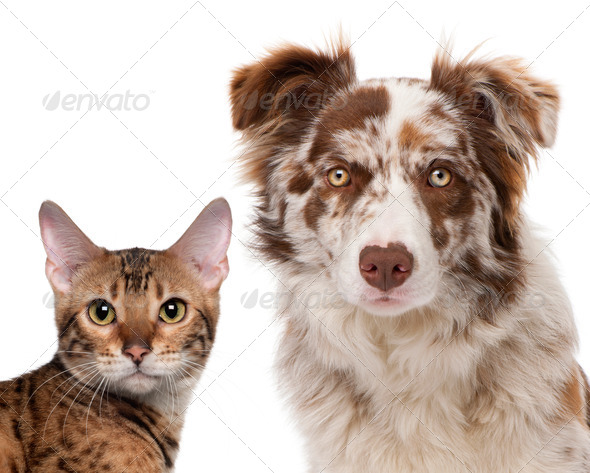 Red Merle Border Collie, 6 months old and a Bengal cat, 7 months old, in front of a white background - Stock Photo - Images
