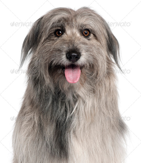 Close-up of Pyrenean Shepherd dog, 18 months old, in front of white background - Stock Photo - Images