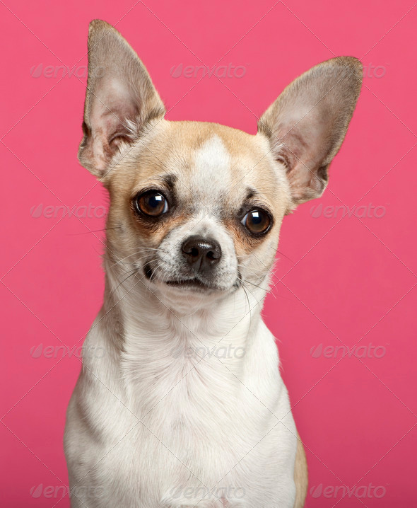 Chihuahua (9 months old) - Stock Photo - Images
