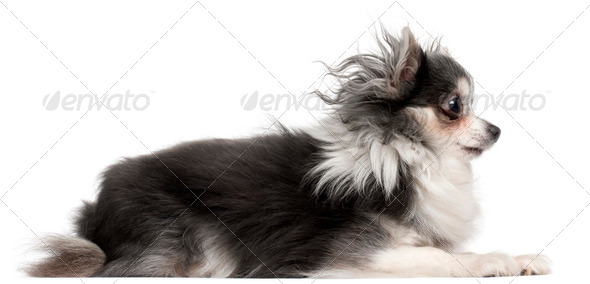 Chihuahua, 2 and a half years old, lying in front of white background - Stock Photo - Images