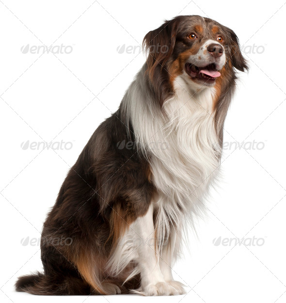 Australian Shepherd dog, 4 years old, sitting in front of white background - Stock Photo - Images