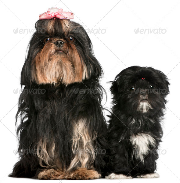 Shih Tzu, 5 years old, and Shih Tzu puppy, 5 months old, sitting in front of white background - Stock Photo - Images