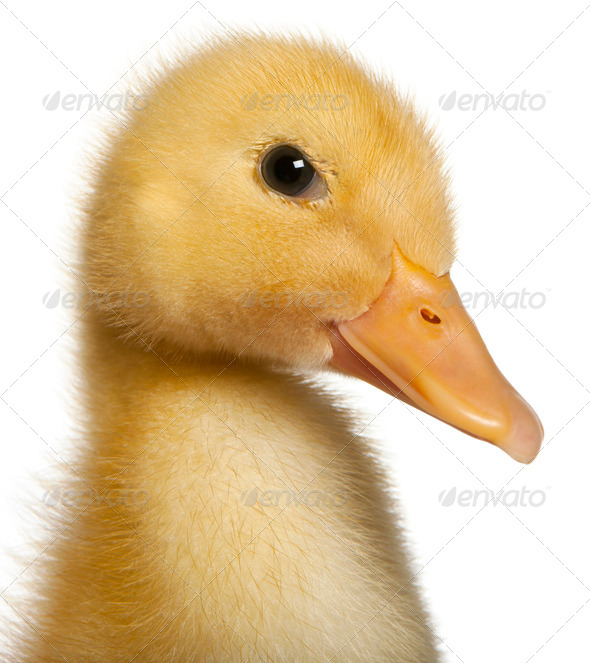 Close-up of Duckling, 1 week old, in front of white background - Stock Photo - Images