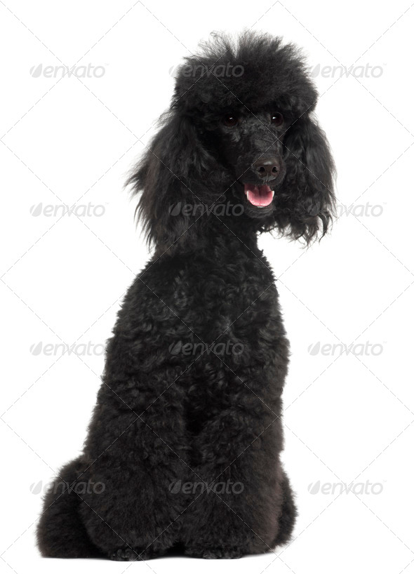 Poodle, 8 months old, sitting in front of white background - Stock Photo - Images
