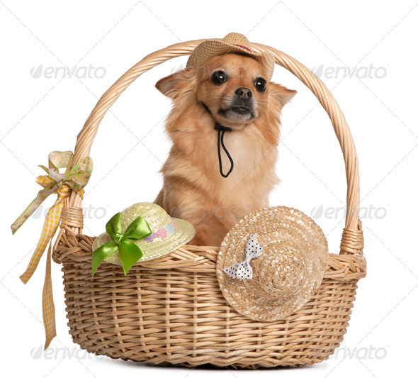 Chihuahua, 3 years old, sitting in baskets with hats in front of white background - Stock Photo - Images