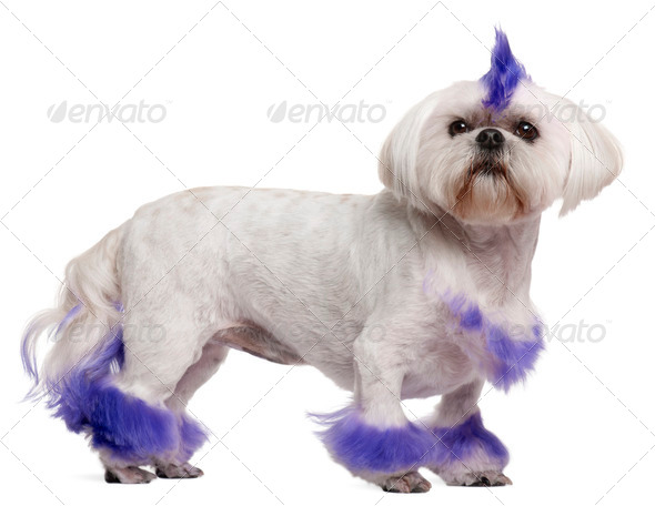 Shih Tzu with purple mohawk, 2 years old, standing in front of white background - Stock Photo - Images