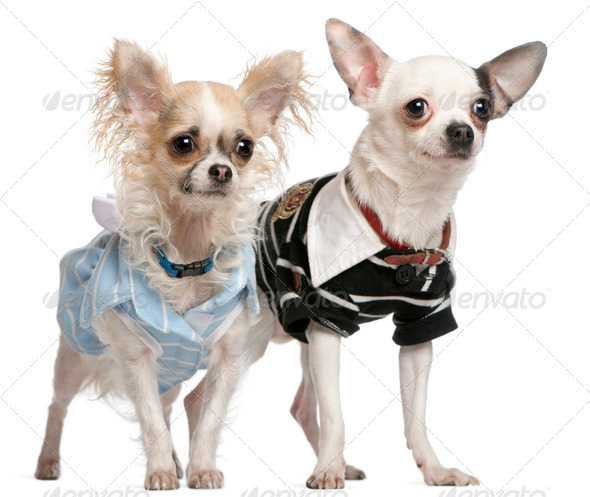 Chihuahua couple dressed up, 1 year old, standing in front of white background - Stock Photo - Images