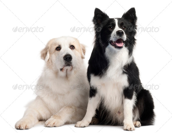 Great Pyrenees, 6 years old, and Border Collie, 2 years old, in front of white background - Stock Photo - Images