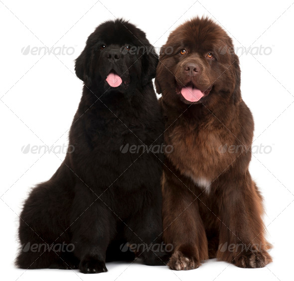 Newfoundland puppies, 5 and 30 months old, sitting in front of white background - Stock Photo - Images