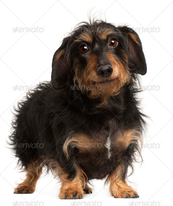Dachshund, 9 years old, standing in front of white background - Stock Photo - Images
