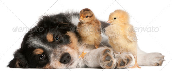Border Collie puppy, 6 weeks old, playing with chicks in front of white background - Stock Photo - Images