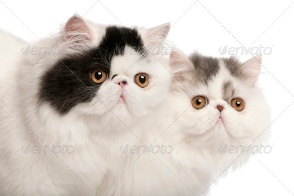 Persian cats, 6 months old, in front of white background - Stock Photo - Images