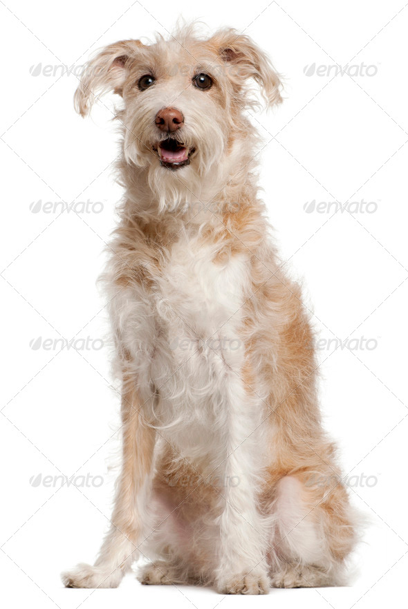 Mixed-breed dog, 14 years old, sitting in front of white background - Stock Photo - Images