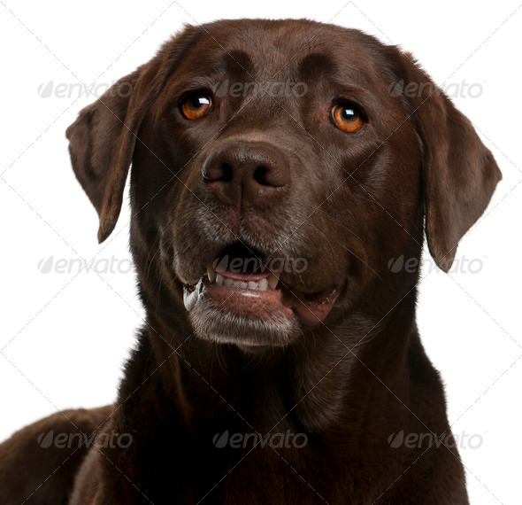 Close-up of Chocolate Labrador, 4 years old, in front of white background - Stock Photo - Images