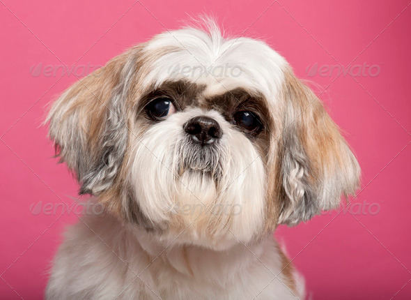 Close-up of Shih Tzu, 8 years old, in front of pink background - Stock Photo - Images