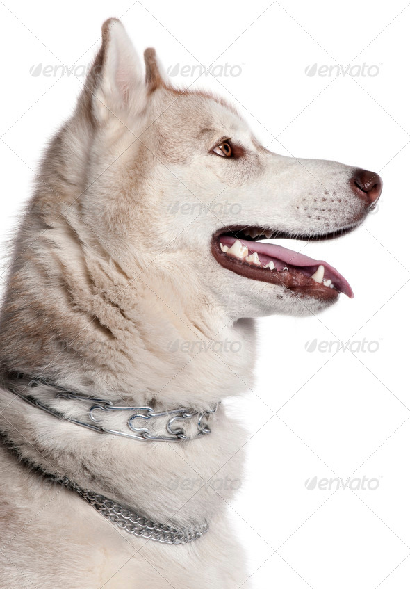 Close-up of Siberian Husky, 1 year old, in front of white background - Stock Photo - Images