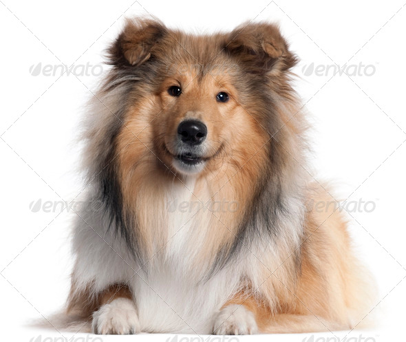 Scotch Collie, 9 months old, lying in front of white background - Stock Photo - Images