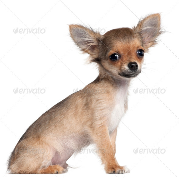Chihuahua puppy, 4 months old, sitting in front of white background - Stock Photo - Images
