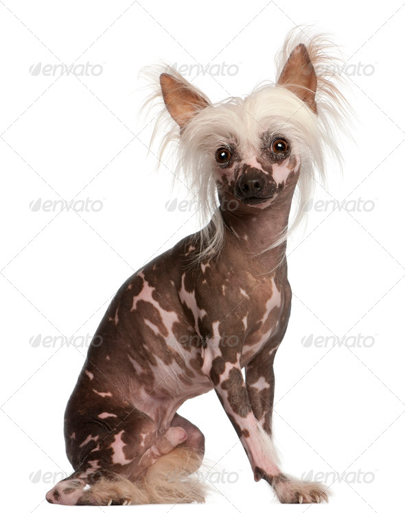 Chinese Crested dog sitting in front of white background - Stock Photo - Images