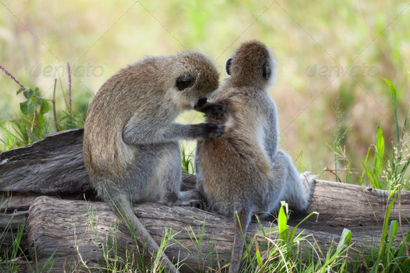 Vervet Monkeys, Chlorocebus pygerythrus, in Serengeti National Park, Tanzania, Africa - Stock Photo - Images