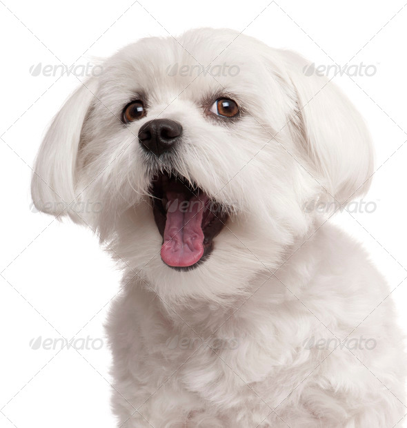 Close-up of Maltese yawning, 2 years old, in front of white background - Stock Photo - Images
