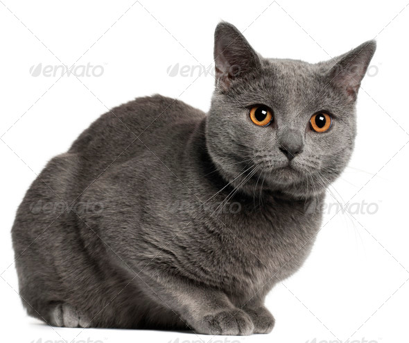 Chartreux cat, 10 months old, in front of white background - Stock Photo - Images