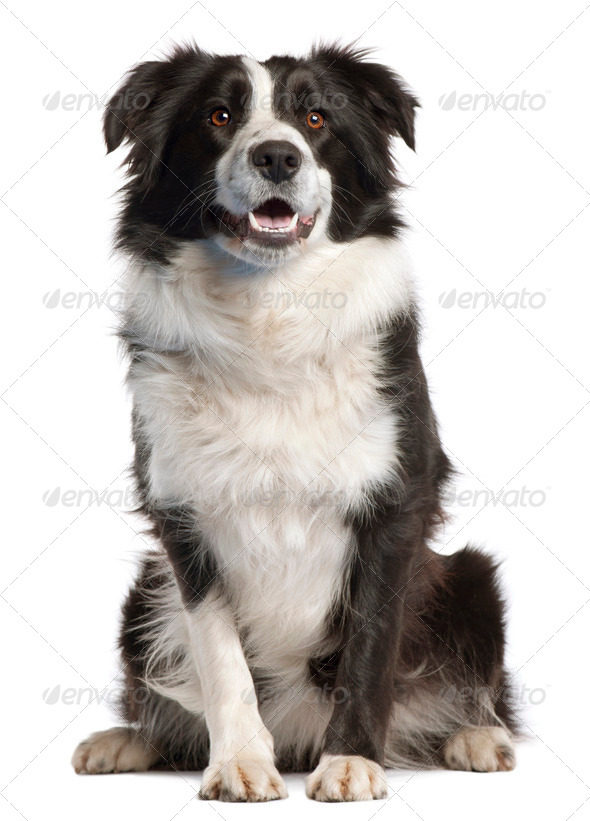 Border Collie, 14 months old, sitting in front of white background - Stock Photo - Images