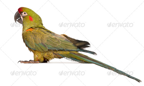 Red-fronted Macaw, Ara rubrogenys, 6 months old, in front of white background - Stock Photo - Images
