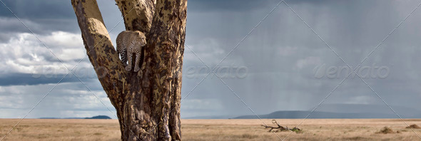 Leopard in tree in Serengeti National Park of Tanzania, Africa - Stock Photo - Images