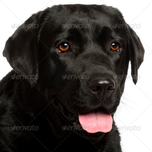 Close-up of Labrador Retriever, 3 years old, in front of white background - Stock Photo - Images