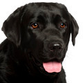Close-up of Labrador Retriever, 3 years old, in front of white background