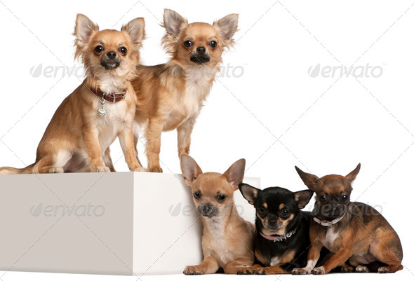 Five Chihuahuas, 1 year old, in front of white background - Stock Photo - Images