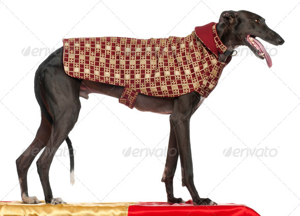 Galgo Espa?±ol, 3 years old, standing on table and wearing coat in front of white background - Stock Photo - Images