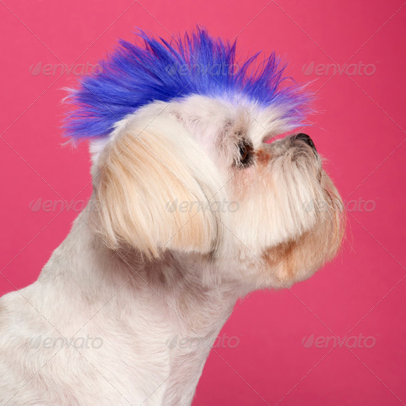 Close-up of Shih Tzu with blue mohawk, 2 years old, in front of pink background - Stock Photo - Images