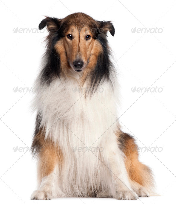 Scotch Collie, 5 years old, sitting in front of white background - Stock Photo - Images