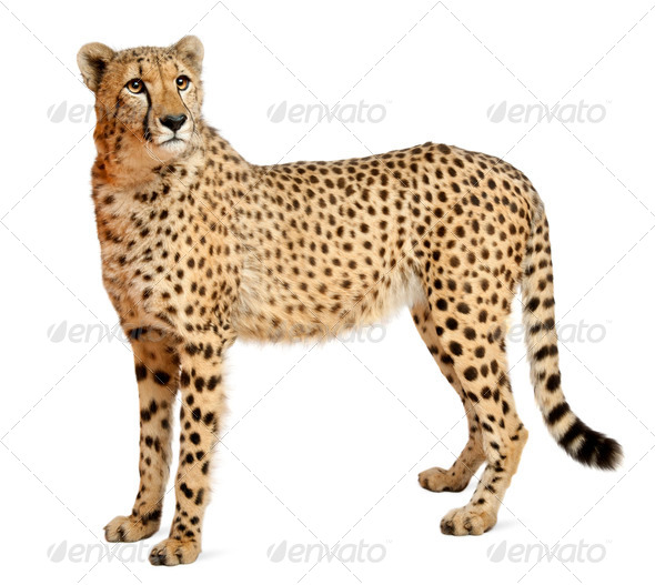 Cheetah, Acinonyx jubatus, 18 months old, standing in front of white background - Stock Photo - Images